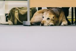 Dog under desk, we are a dog friendly office #dogsatwork